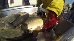 Sorting Fish at Commercial Fish Pond Stock Footage
