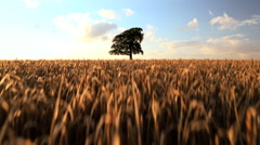 Tree Barley field crop farm field agriculture wheat farming bread Stock Footage