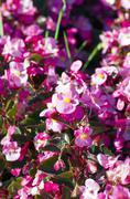 Stock Photo of pink Begonia