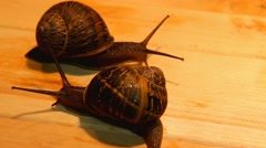 Big garden snails  on a wooden surface- Dance of love Stock Footage