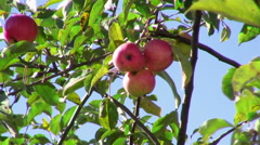Red apples on a tree Stock Footage