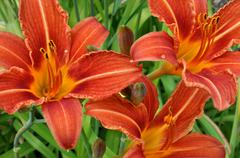 Detailed view on the colorful blooming lilies - stock photo
