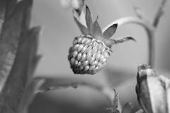 Unripe strawberry fruit Stock Photos