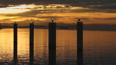 Sunrise Herons on Pilings, Vancouver Stock Footage