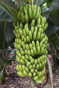Banana Plantation - stock photo