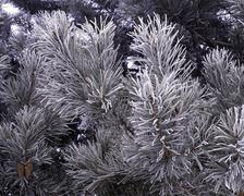 Frosty Scotch Pine Stock Photos