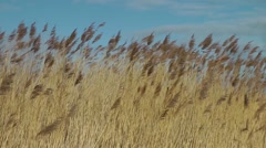 Grasses blowing waving against blue sky.mp4 Stock Footage