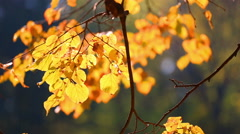 Tree branch with autumn yellow to leaves, lit with the sun Stock Footage