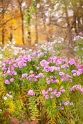 Pink Aster blooming flowers - stock photo