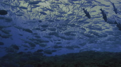 UltraHD shot of giant school of tropical fishes, big eye jacks, trevally, Palau Stock Footage