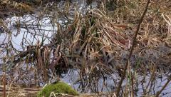Marshland Reeds and Grass Winter Stock Footage