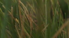 Macro clip of grass during sunrise Stock Footage