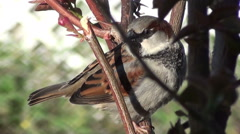 Stock Video Footage of Close up of a male sparrow chirping in the sunlight