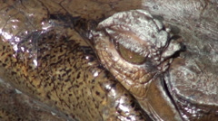 Gharial close up in the water Stock Footage