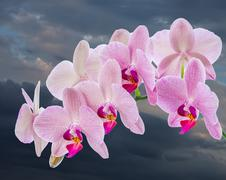 Phalaenopsis. Orchid with cloudy sky Stock Photos