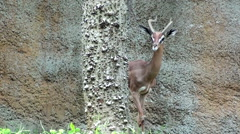 Close up of Male Gerenuk Stock Footage