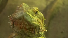 Bearded dragons Stock Footage