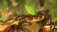 Gromphadorhina portentosa.Madagascar Hissing Cockroach.Blatta soffiante Stock Footage