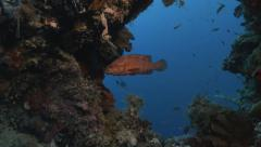 UltraHD underwater shot of two coral groupers in sunken ship, Palau Stock Footage