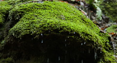 Green Moss Water Dripping Down woodland spring Stock Footage