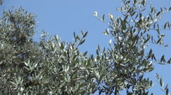 Olive tree branches blowing in a summer hot wind.  - stock footage