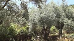 Olive plantation growing on mediterranean islands farmland. Stock Footage