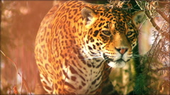 Close-up of a female jaguar (Panthera onca), slow motion. - stock footage