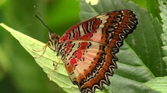 Malay lacewing butterfly. Asia Stock Footage
