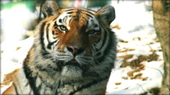 Siberian Tiger, slow motion in winter time Stock Footage