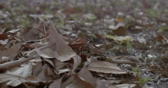 Falling dry leaves  (in slow motion) Stock Footage