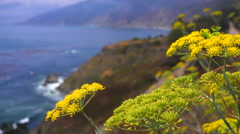 Bees alight on sage flowers grow along California Highway One. - stock footage
