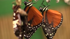 Owl butterfly cocoon Stock Footage