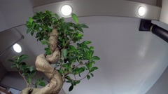 Bonsai ficus tree low view - stock footage