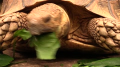 Close-up view of the head of a giant tortoise eating a leaf Stock Footage