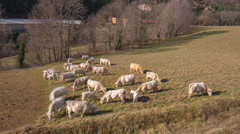 Day light mountain cows on field ribes de freser 4k time lapse spain Stock Footage