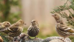 Pine Siskin Stock Footage