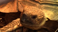 Head of giant tortoise Stock Footage