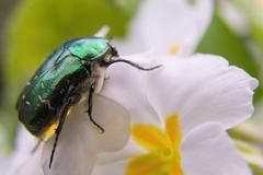 The Flower Chafer Stock Photos