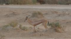 Dorcas gazelle walk 4K Stock Footage