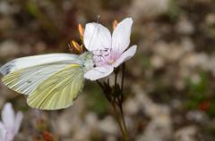 white butterfly on a flower in summer - stock photo
