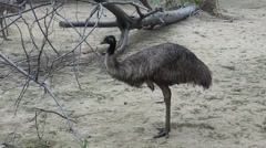 Emu bird Stock Footage