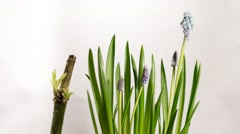 Growing blue muscari flower Stock Footage