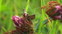 Grasshoppers make love Stock Footage