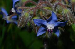 a big beautiful blue blossom flower - stock photo