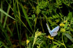 Little blue butterfly sitting on a flower in summer Stock Photos