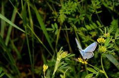 little blue butterfly sitting on a flower in summer - stock photo