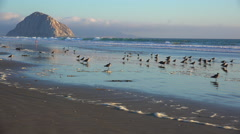 Shorebirds and people in front of the beautiful Morro Bay rock along Stock Footage