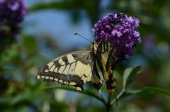 swallowtail butterfly sitting on a flower of lilac in summer - stock photo