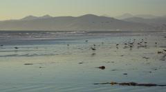 Shorebirds pick through the sand along California's central coast. - stock footage