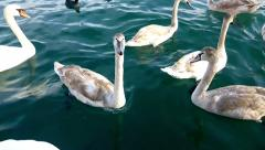 Young grey swans Stock Footage